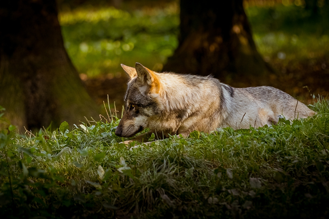 Another-Grey-Wolf_by_sylphire