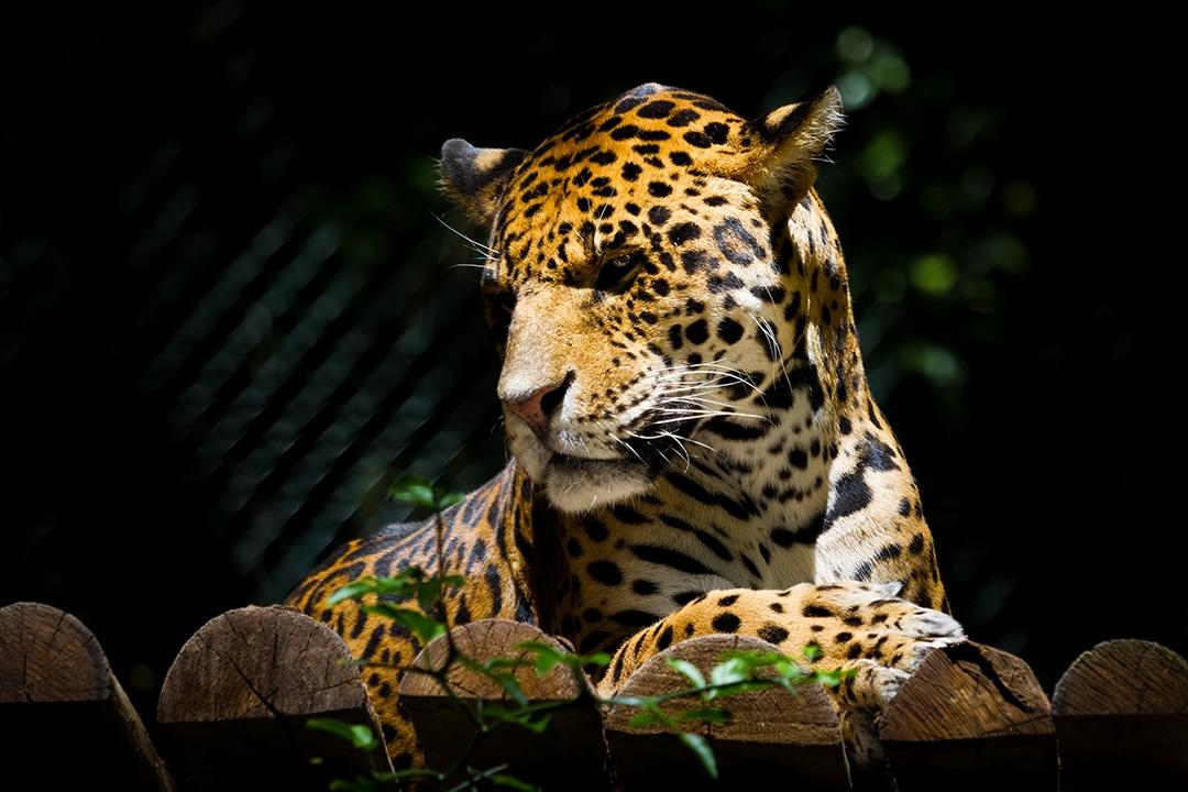Majestueux-Leopard_by_sylphire