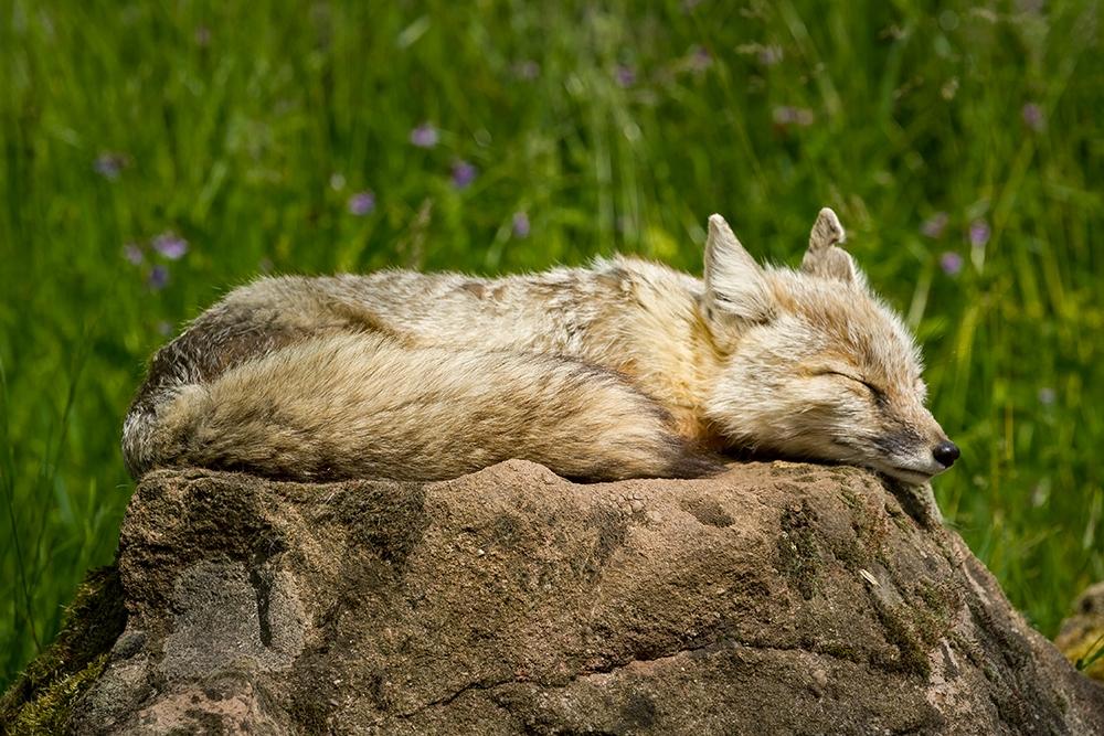 Sleeping-Fox_by_sylphire
