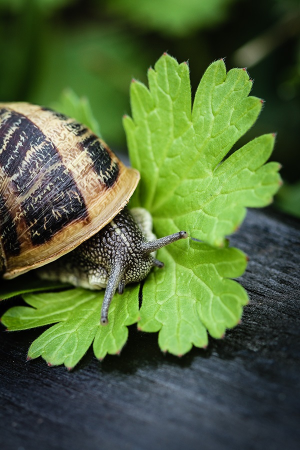 Snail_by_sylphire
