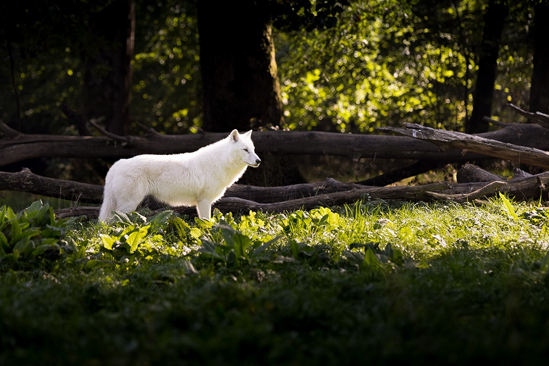White-Wolf_by_sylphire