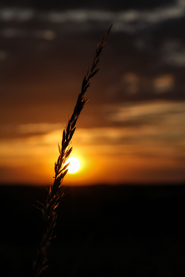 Sunset for the last corn standing