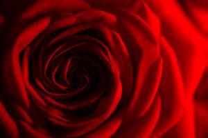 La 100ème - Red Rose